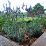 Lawenda w skrzyni z ziołami