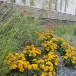 Nachyłek wielkokwiatowy oraz kwiatostany traw ozdobnych