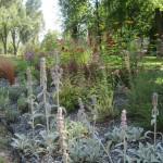 Czyściec wełnisty oraz trawy ozdobne