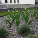 Kostrzewy oraz rozpoczynające kwitnienie tulipany