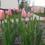 Tulipany 'Charmeur'