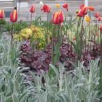 Czyściec, tulipany oraz żurawki